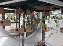 عصافير هند منتجين للبيع