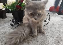 قطة منزلية للبيع