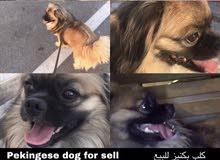 للبيع كلب بكنيز