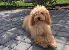 Mini poodle female - 1 year old