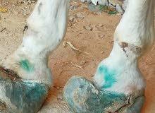 حذاوي خيل horse shoeing farrier