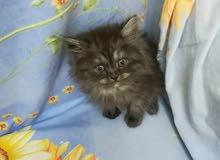 قطط شيرازي  بيورالعمر شهر ونص