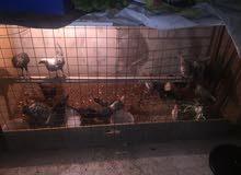 دجاج للبيع فيومي + بلدي