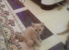 قطة ذكر تربية منزل العمر شهرين