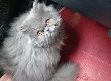 قطة بيكي فيس.