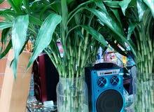 نبتة ساق البامبو في جدة