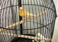 كناري ذكور تغريد نار canary male singing FINAL PRICE