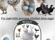 صيصان اروكانا (البيض الأزرق)