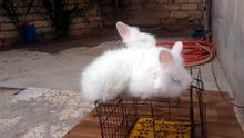 ارانب انقورة للبيع دم صافي ودرجة اولی