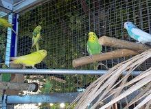 عصافير  الحب بادجي