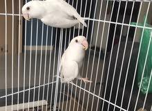 lovebirds albino