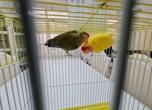 طير love bird
