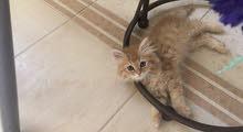 Male Kitten