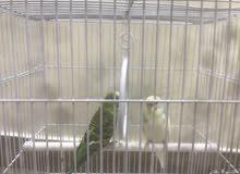 طيور الزينه للبيع الحويه مثمله