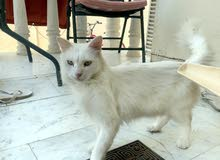 White green-eyed Cat