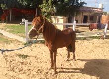 حصان بوني فحل