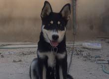 كلب هاسكي عمره سنة