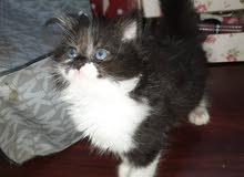 قطط بيور مستوئ عالي