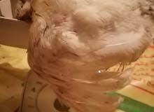 دجاج ابيض