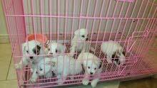 كلاب الدلع ...الصغيرة