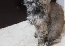 للبيع قطة شيرازي مون فيس للبيع