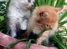 قطط هملايا هاف بيكي فيس