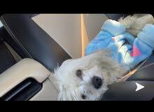 كلب مالتيز للبيع maltese dog for sale