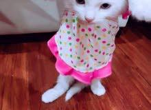 قطط شيرازي للبيع العدد 2.
