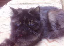قطة بيرشن زورار للبيع