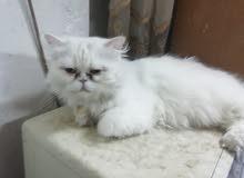 قطة انثى منتجة للبيع