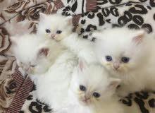 Persian kitten r قطط شيرازيه