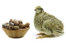 طائر السمان و البيض المخصب
