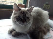 قطه هيملايا بيور للبيع مطعمه وجاهزه للتزاوج