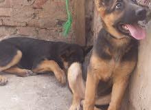 كلاب جرمن للبيع عمر شهرين ذكر وانثى 770911335