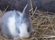 أرانب فرنسي للبيع