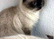 قطة هملايا منتجة للبيع