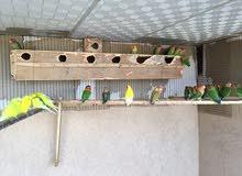 مجموعة عصافير بركاديلو انتاج وكوبيات كبار منتجات