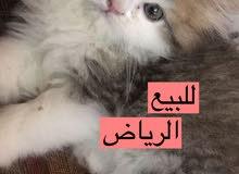 قطط للبيع لجميع مناطق المملكه