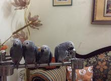 african grey parrots and eggs ready