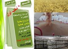 قمح عماني (بر) للبيع