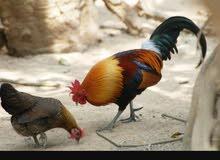 مطلوب دجاج عماني بياض