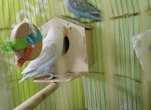 جوز طيور الحب فشر هولندي love bird