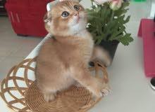 Scottish fold gold male kitten for sale