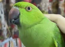 ببغاء درة ringneck parrot