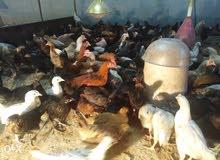 دجاج عماني  اقرأ الوصف
