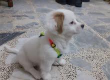 كلب لولو فوكس لعوب شهرين عمره ملقح كامل
