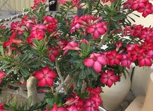 Adenium and other plants
