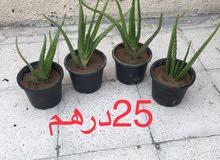 للبيع نبات صبار (  الألوفيرا )