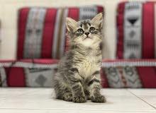 كتنز قطط