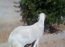 خروف هجين ثني